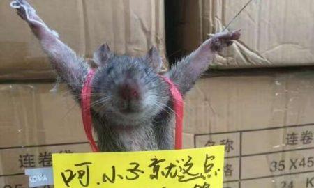 Rat featured