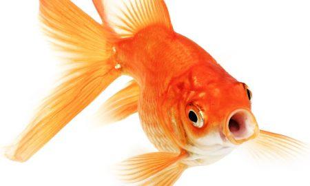 sad-shocked-betrayed-goldfish