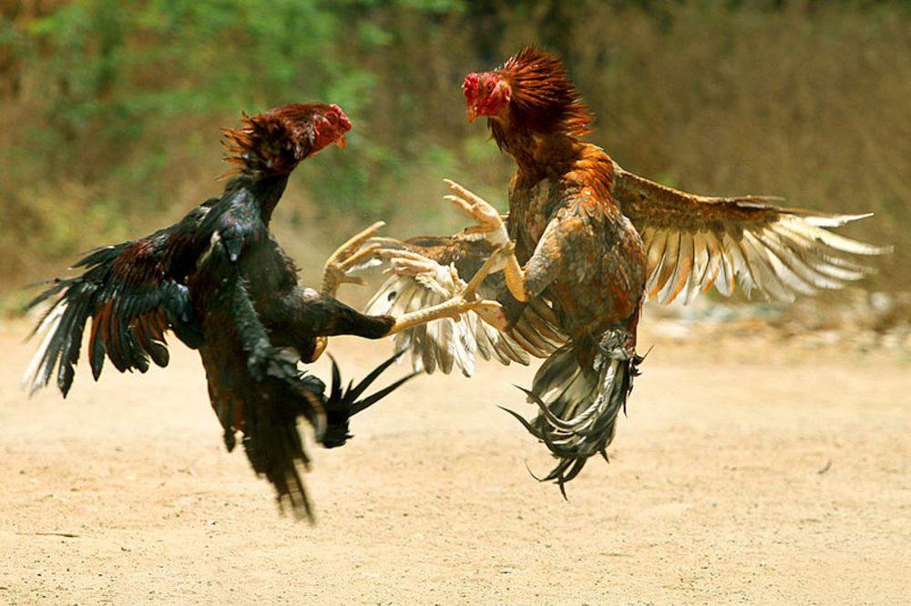 Jan-cockfight