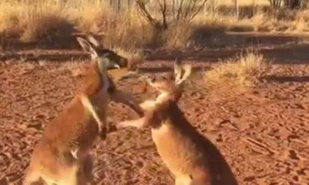 Kickboxing Kangaroo Buddies