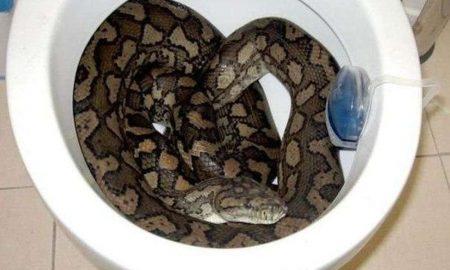 Python toilet