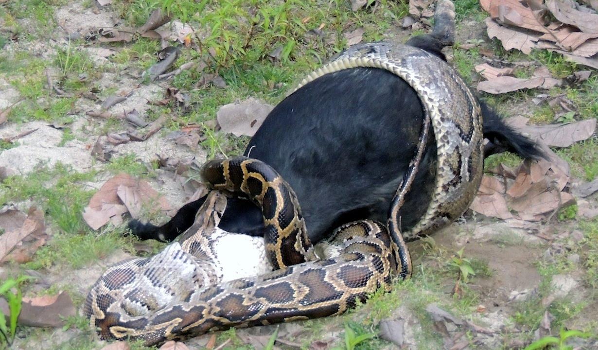 Goat python