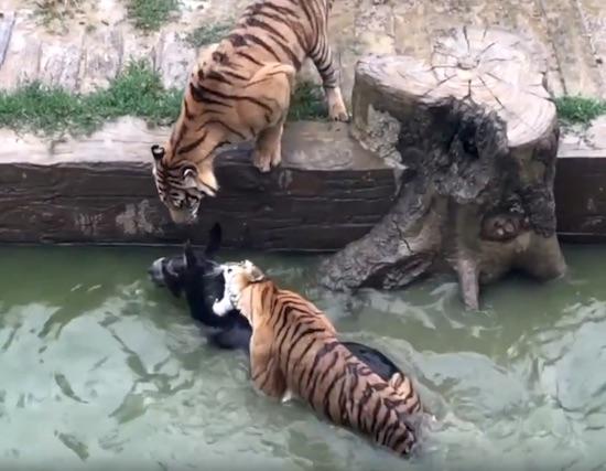 Tigers Devour Donkey