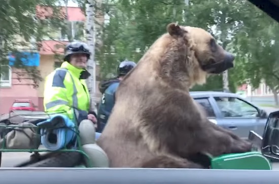 Meanwhile In Russia Bear