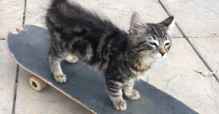 Skateboarding kitten