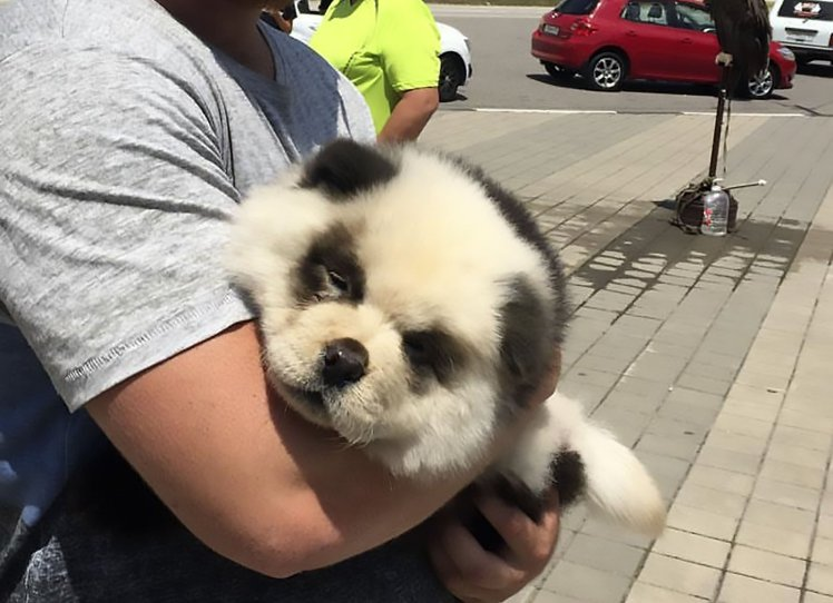 man caught scamming tourists by dying chow chow dog to