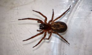 Woman adds false widow spider to her collection of pets, Chalgrove, Oxfordshire, Britain - 06 Nov 2013
