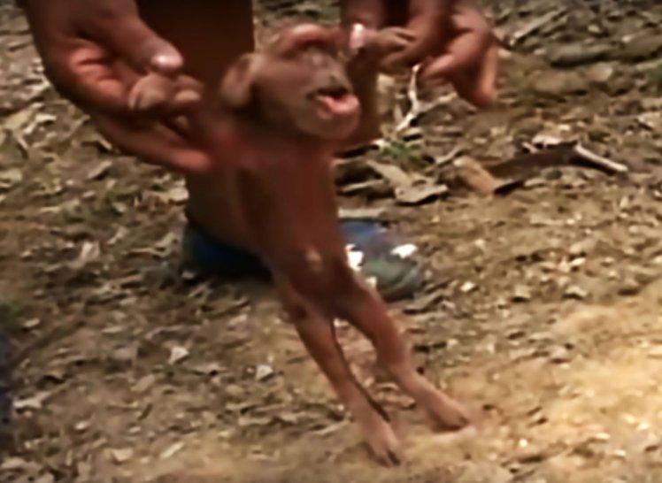 Pig monkey