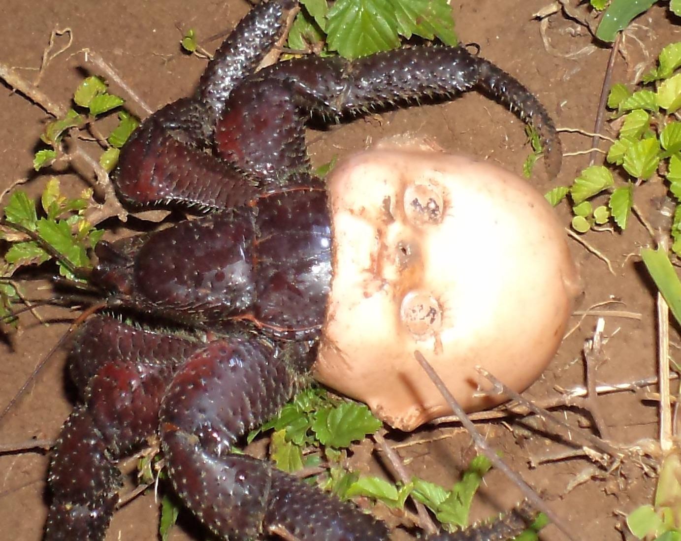 Babyface crab 1