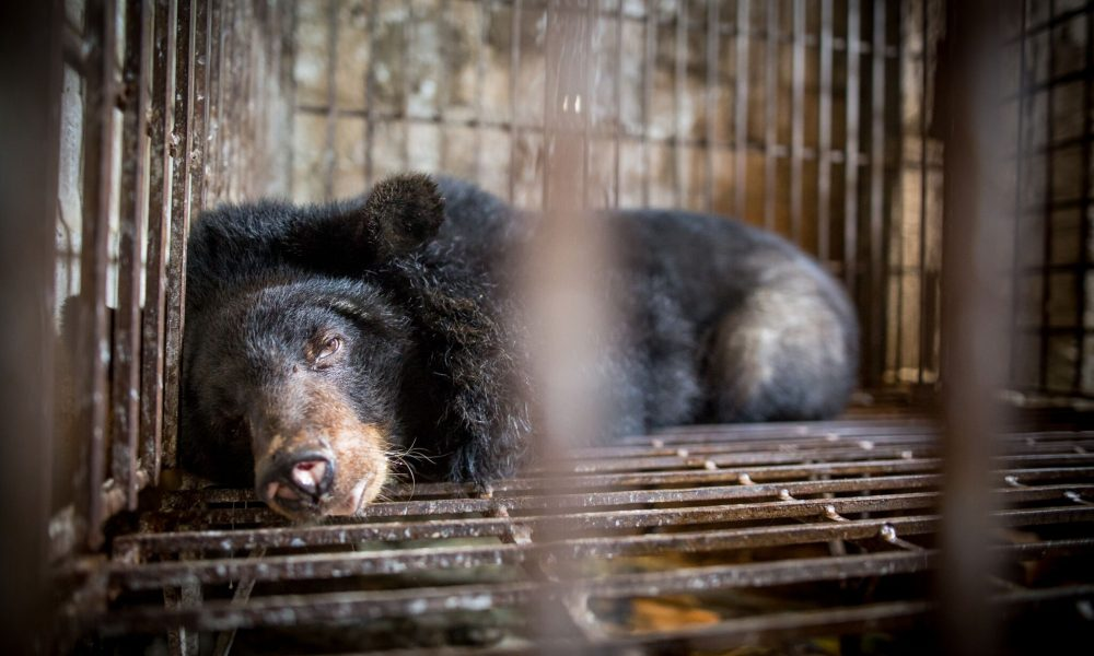 New Simulator Exposes The Horrific Conditions Bile Bears East Asia Endure Their Whole Lives