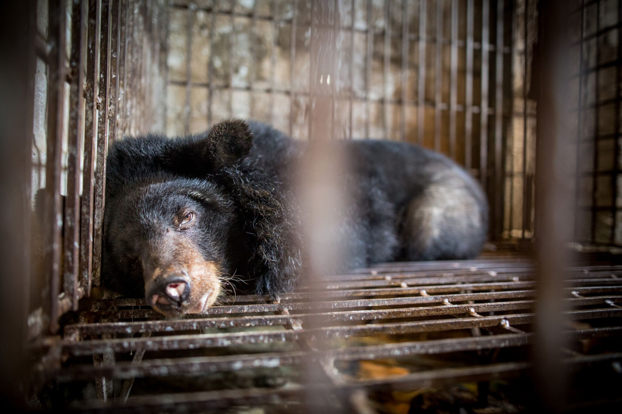 Bile Bears 1