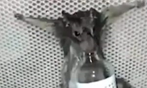 Rat Burned Alive