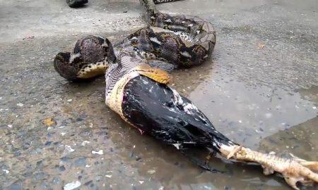 Snake Regurgitates Rooster