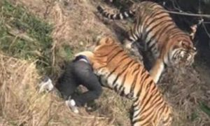 Man Mauled Tiger