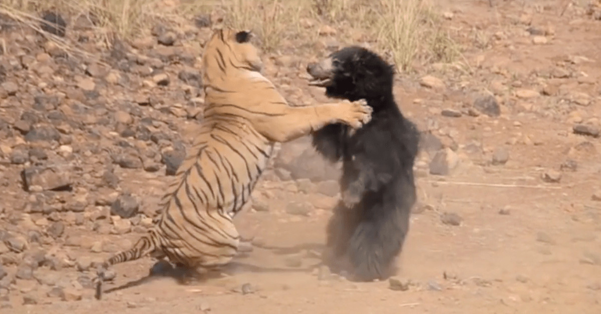 Tiger And Bear Fight