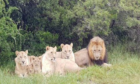 Rhino poachers eaten by lions