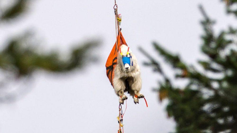 Flying Goat