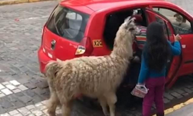Alpaca Taxi