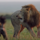 Lion Hyenas