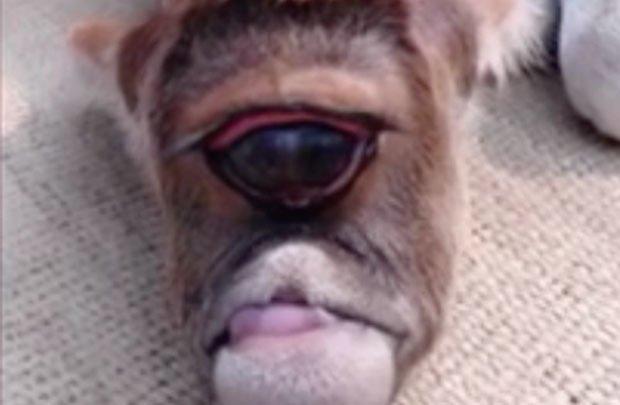 Cow One Eye