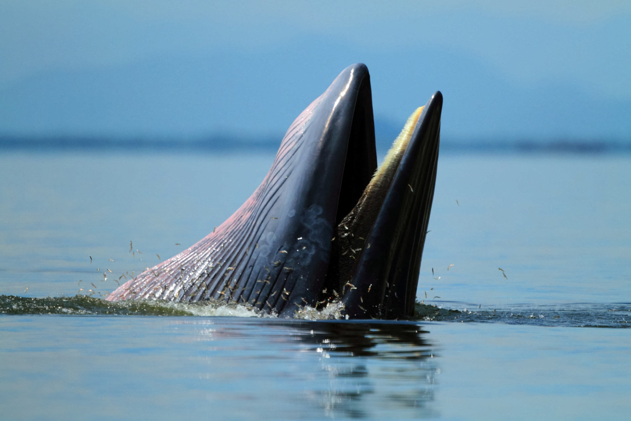 Behaviour , Bryde's Whale eat anchovy fishes under the wave , Phetchaburi province , gulf of Thailand