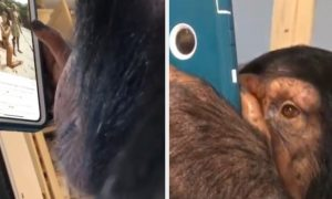 Chimp Insta